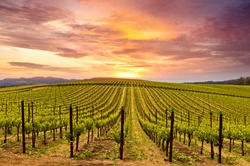 Beautiful Sunset Sky in Napa Valley Wine Country on Spring Vineyards , Mountains.