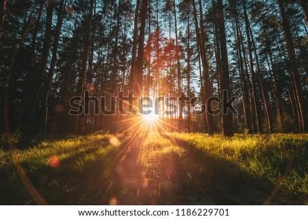 Beautiful Sunset Sunrise Sun Sunshine In Sunny Autumn Coniferous Forest. Sunlight Sunbeams Through Woods In Forest Landscape.
