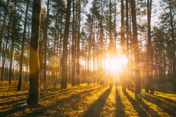 Beautiful Sunset Sunrise Sun Sunshine In Sunny Spring Coniferous Forest. Sunlight Sunbeams Through Woods In Forest Landscape.