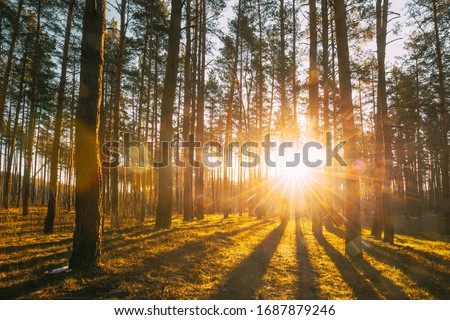 Beautiful Sunset Sunrise Sun Sunshine In Sunny Spring Coniferous Forest. Sunlight Sunbeams Through Woods In Forest Landscape.