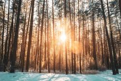 Beautiful Sunset Sunrise Sun Sunshine In Sunny Winter Snowy Coniferous Forest.