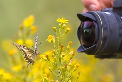 Beautiful Swallowtail butterfly on yellow flower photographed by wildlife photographer from short distance