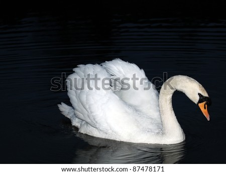 Beautiful Swan in Dark Pond