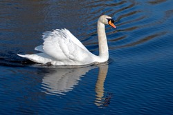 Beautiful Swan on a Crystal Clear deep blue river reflection