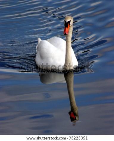 Beautiful swan reflecting in the water