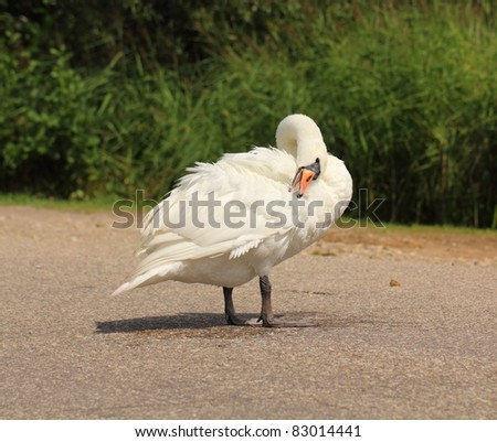 Beautiful swan standing on street in countryside of Eastern Europe