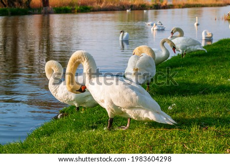 Beautiful swans on Lake Balaton near the town of Fonyod, in the background the Badacsony Mountains and Szigliget in  Hungary Stock photo ©