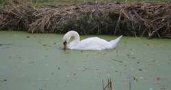 BEAUTIFUL SWANS STORY IN GREEN VOTER