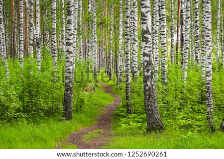 Beautiful synny day in the forest. Birch trees among the path.