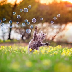 beautiful tabby cat jumps and catches soap bubbles with its paws and claws on a summer blooming meadow in the light of a warm sunset