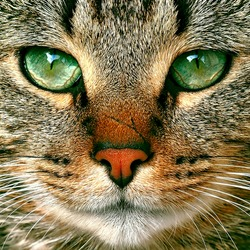 beautiful tabby cat potrait with green eyes