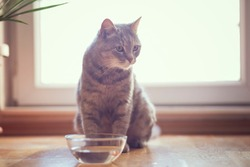 Beautiful tabby cat sitting next to a bowl of water, placed on the floor next to the living room window. Selective focus