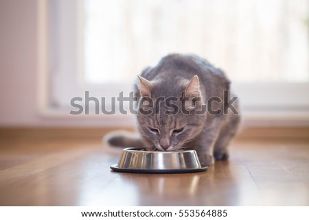 Beautiful tabby cat sitting next to a food bowl, placed on the floor next to the living room window, and eating. #553564885