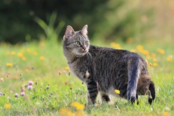 beautiful tabby cat standing in the blooming meadow. Domostic cat in the garden