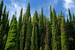Beautiful tall cypress tree wall with blue cloudy sky above