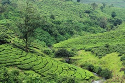 Beautiful tea gardens of Vagamon. Vagamon is a hill station in Kerala, India.