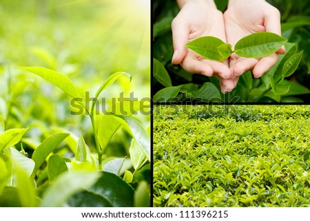 Beautiful tea plantation collage - stock photo