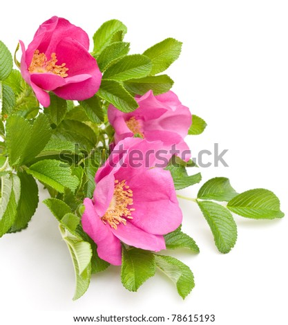 Beautiful tea rose on a white background.