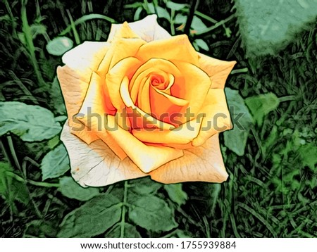Beautiful tea rose (Rosa odorata) flower with lush petals in a the style of oil painting  with illustration art effect