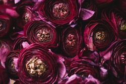 Beautiful tender blossoming dark purple Ranunculus flowers texture, close up view