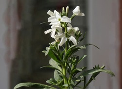 Beautiful tenweeks stock flowers - Matthiola incana is a species of flowering plant in the cabbage family Brassicaceae.