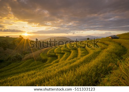 Beautiful terraced rice field in harvesting season. Mae Cham, Chaingmai, Thailand. Before sunset and twilight time #511333123