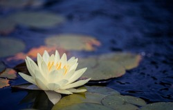 Beautiful Thai Lotus that have been appreciated with dark blue water surface