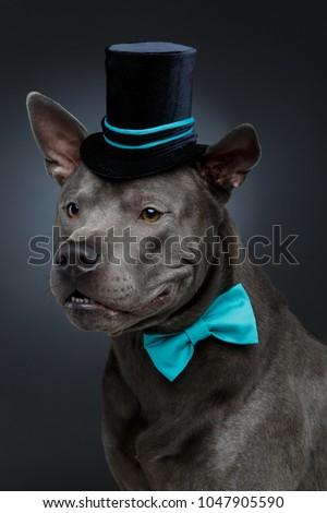 35f3e69be3d English bulldog wearing top hat Stock Photo 188148638 - Avopix.com