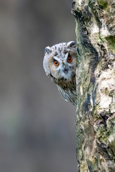 Beautiful The long-eared owls (Asio otus) on a branch in the forest of Noord Brabant in the Netherlands.  Looking in the camera. Peek a boo owl. Hide and seek owl.