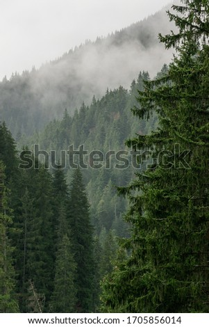 Beautiful thick dark green pine tree with a moody, misty pine forest in the background. Forested mountain slope in low lying cloud. Landscape in vintage retro hipster style.