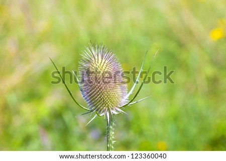 beautiful thistle in the green meadow