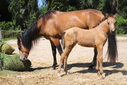 Beautiful thoroughbred foal and mare posing for cameras at rural equestrian farm