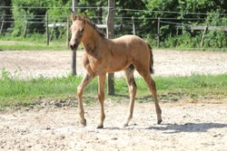 Beautiful thoroughbred foal posing for cameras at rural equestrian farm
