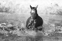 beautiful thoroughbred horse swims  in  water lake
