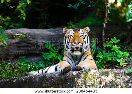 Beautiful tiger. #238464433
