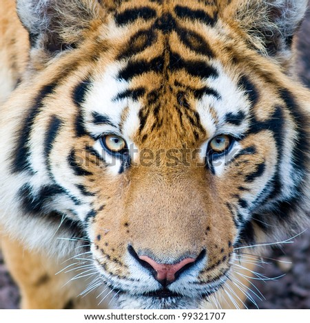 Beautiful tiger cub closeup