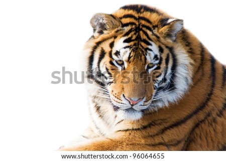 Beautiful tiger cub closeup - isolated on white background
