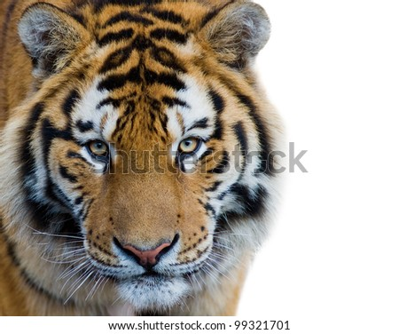 Beautiful tiger cub isolated on white background