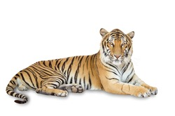 Beautiful tiger isolated on white background with clipping path