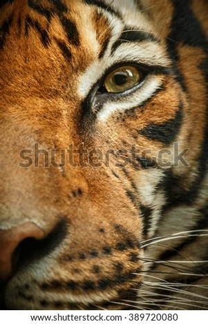 Beautiful tiger look/Beautiful tiger look/Prague Zoo #389720080