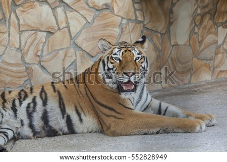 beautiful Tiger lying on the stone floor #552828949