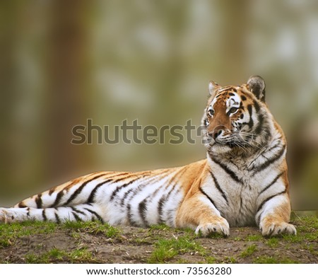 Beautiful tiger relaxing on grassy hill - stock photo