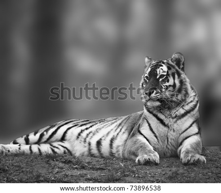 Beautiful tiger relaxing on grassy hill in monochrome