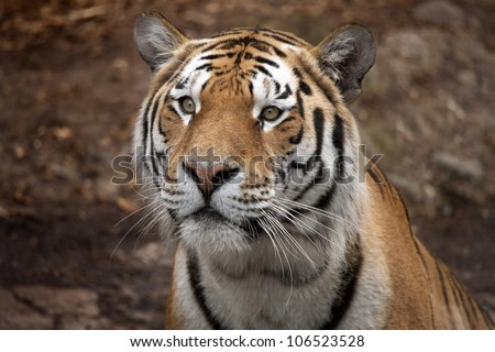 Beautiful tiger staring intensely. Full frame and really close up.