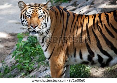 Beautiful Tiger walking in the zoo