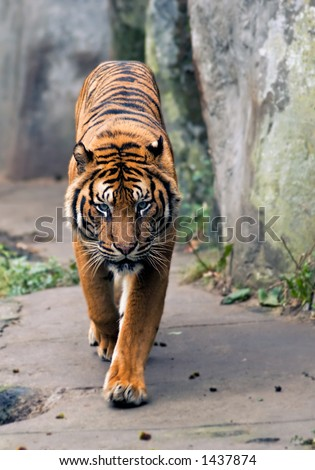 Beautiful tiger walking towards the camera - stock photo