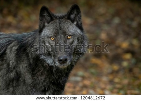 Beautiful Timber Wolf (also known as a Gray Wolf or Grey Wolf) with Black and Silver Markings #1204612672