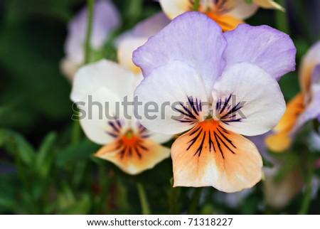 Beautiful tiny tricolored violas ( Heartsease or Johnny Jump Ups) Macro with shallow dof.