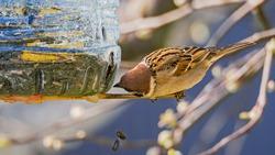 Beautiful tit eating from bird feeder made of reused plastic bottle full of sunflower seeds