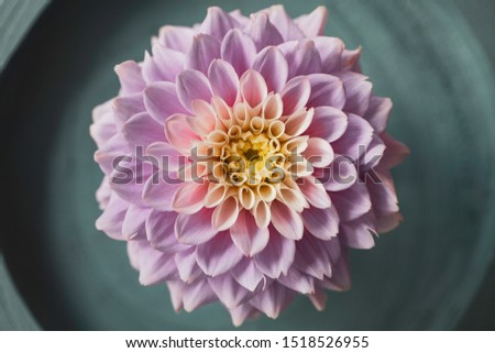 Beautiful top shot of a pink chrysanthemum flower with a yellow centre, on a wooden tree stem painted in petrol green. Colors faded.